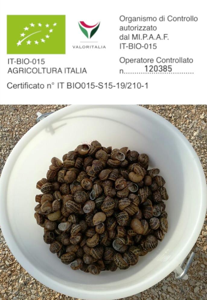 Helix-Aspersa-Muller-5kg-sacchetto-di-lumache-da-gastronomia-helix-aspersa-maxima-1kg